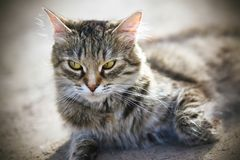 A beautiful furry cat on the ground and looks away royalty free stock photos