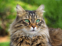 Beautiful furry cat portrait. On a green backgraund Stock Image