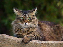 Beautiful furry cat. Portrait outdoor Royalty Free Stock Photography