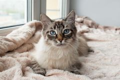 Beautiful furry cat of seal lynx point color with blue eyes is lying on a pink blanket. Beautiful furry cat of seal lynx point color with blue eyes is lying on Stock Photos