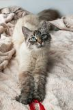 Beautiful furry cat of seal lynx point color with blue eyes is playing on a pink blanket. Beautiful furry cat of seal lynx point color with blue eyes is playing Stock Image