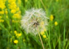 Beautiful, furry, large, white dandelion, close-up on a green background. Large, beautiful, white, fluffy dandelion, close-up grows on a summer meadow Stock Photos