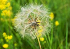 Beautiful, furry, large, white dandelion, close-up on a green background. Large, beautiful, white, fluffy dandelion, close-up grows on a summer meadow Stock Image