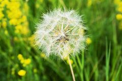 Beautiful, furry, large, white dandelion, close-up on a green background. Large, beautiful, white, fluffy dandelion, close-up grows on a summer meadow Stock Photo