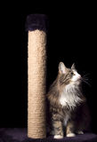 Beautiful furry purebred kitten sit near scratching post Stock Photography