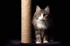 Beautiful furry purebred kitten sit near scratching post Stock Image