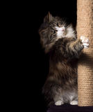 Beautiful furry purebred kitten sit near scratching post Stock Photos