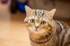 A beautiful and furry Scotch cat. With a marble pattern and chocolate color Royalty Free Stock Image