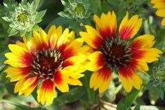 Beautiful Gaillardia flowers Royalty Free Stock Photos