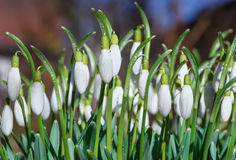 Beautiful Galanthus blossom out in a spring garden.  royalty free stock photography