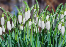 Beautiful Galanthus blossom out in a spring garden.  royalty free stock images