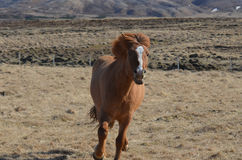 Beautiful Galloping Icelandic Horse. Chestnut horse galloping on an Icelandic farm Stock Photos