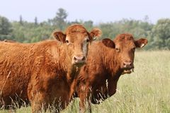 Cow Girls royalty free stock photo