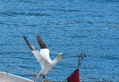 Beautiful gannet Royalty Free Stock Photos
