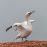 Beautiful Gannets At The Lonely Island Helgoland In North Sea Of Royalty Free Stock Image