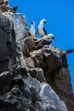 Beautiful gannets on rocks Royalty Free Stock Images