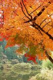 Beautiful garden in autumn. Beautiful maple trees and a lake in autumn Stock Images