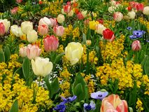 Beautiful garden background with red and white tulips, blue anemones, crown imperial flowers. Stock Photos
