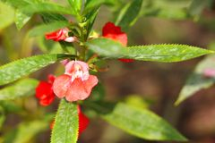 Beautiful Garden Balsam Stock Photography