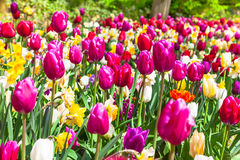 Beautiful garden with blooming vivid tulips Stock Photography