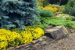 Beautiful garden of blue spruce. Lanscape design. beautiful garden of blue spruce, bright yellow chrysanthemum and other vegetation, paths with pebbles for a Royalty Free Stock Images