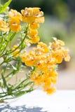 Beautiful garden flower Nemesia strumosa Royalty Free Stock Photography