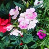 After the rain my garden flower. A beautiful garden .A flower is a special kind of plant part. Flowers are also called the bloom or blossom of a plant Royalty Free Stock Photo