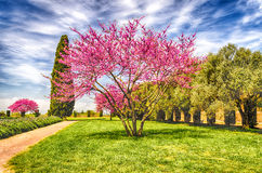 Beautiful Garden with flowered cherry, cypresses and olive trees Royalty Free Stock Image