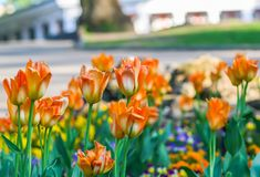 Beautiful garden flowers. Bright tulips in spring park. Urban landscape with decorative plants. stock photography