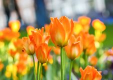 Beautiful garden flowers. Bright tulips in spring park. Urban landscape with decorative plants. Beautiful garden flowers. Bright tulips blooming in spring park stock photography
