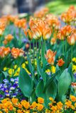 Beautiful garden flowers. Bright tulips in spring park. Urban landscape with decorative plants. Beautiful garden flowers. Bright tulips blooming in spring park stock photos