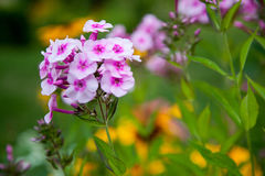 Beautiful garden flowers,Flowers background. Beautiful pink and Stock Photo