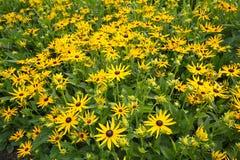 Beautiful garden flowers, rubeckia,  fulgida, goldsturm Royalty Free Stock Image
