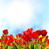 Beautiful garden fresh colorful tulips Royalty Free Stock Image