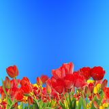 Beautiful garden fresh colorful tulips Royalty Free Stock Image