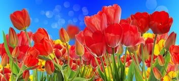 Beautiful garden fresh colorful tulips. Stock Photo