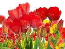 Beautiful garden fresh colorful tulips. Stock Photos