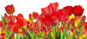 Beautiful garden fresh colorful tulips. Royalty Free Stock Images