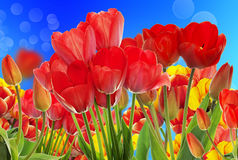 Beautiful garden fresh colorful tulips. Stock Image