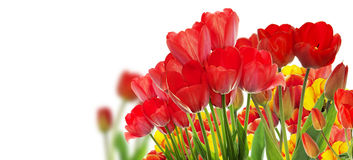 Beautiful garden fresh colorful tulips. Royalty Free Stock Photos