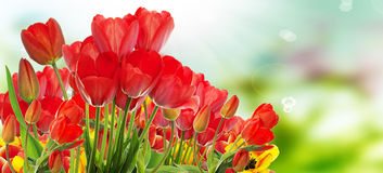 Beautiful garden fresh colorful tulips. Stock Image