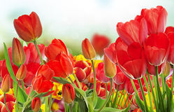 Beautiful garden fresh colorful tulips. Royalty Free Stock Photography