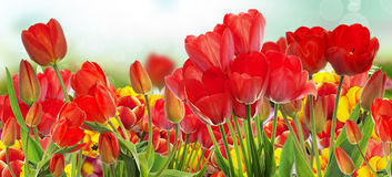 Beautiful garden fresh colorful tulips. Stock Images