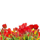 Beautiful garden fresh colorful tulips Stock Photography
