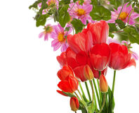 Beautiful garden fresh red tulips Stock Photo