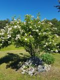 Beautiful garden at gotland in the summer. royalty free stock photos