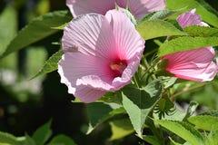 Beautiful garden hibiscus in my garden stock photography