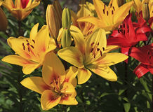 Beautiful garden lily. Stock Photo