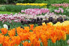 Beautiful garden of many colored tulips stock photos