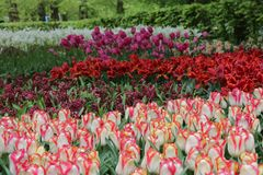 Beautiful garden of many different tulips royalty free stock photo